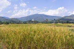 Goldenes Reisfeld mit thailändischem Tempel auf dem Berg Stockfoto