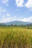 Goldenes Reisfeld mit thailändischem Tempel auf dem Berg Stockbild
