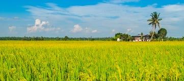 Goldenes Reisfeld, Straße und ein Haus Stockfotografie