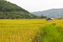 Goldenes Reisfeld in Thailand. Lizenzfreie Stockfotografie