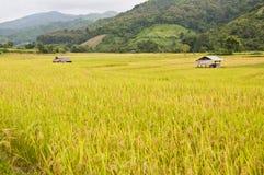 Goldenes Reisfeld in Thailand. stockfotografie