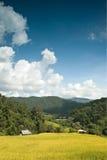 Goldenes Reisfeld in Thailand stockbilder