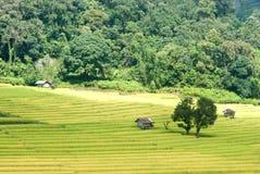 Goldenes Reisfeld in Thailand lizenzfreies stockbild