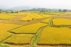 Goldenes Reisfeld in Thailand Lizenzfreie Stockfotos