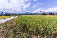 Goldenes Reisfeld in Thailand Stockfoto