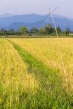 Goldenes Reisfeld in Thailand Asien Stockfoto
