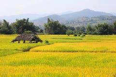 Goldenes Reisfeld umgeben durch den Berg lizenzfreie stockbilder