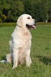Goldenes retriver Stockbilder