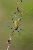 Goldenes Silk Orbweaver (Nephila clavipes) Lizenzfreie Stockfotografie