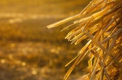 Goldenes Stroh in den Strahlen der untergehenden Sonne Stockfoto