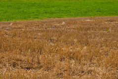 Goldenes Stroh und grünes Gras Stockfotografie