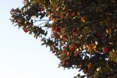 Goldenes Stundenfoto von einem Arbutusbaum lizenzfreie stockfotos