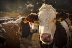Goldenes Stundenkuhporträt Stockfotos