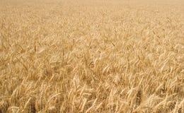 Goldenes Weizen-Breites Lizenzfreie Stockfotos
