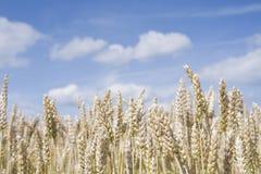 Goldenes Weizen-Feld lizenzfreies stockbild