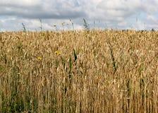 Goldenes Weizen-Feld Lizenzfreies Stockfoto