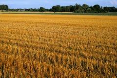 Goldenes Weizen-Feld Lizenzfreie Stockbilder