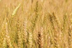 Goldenes Weizen-Feld stockbild
