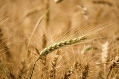 Goldenes Weizen-Feld stockfoto