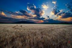Goldenes Weizen-Feld Lizenzfreie Stockfotografie