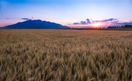 Goldenes Weizen-Feld bei Sonnenuntergang Stockbild