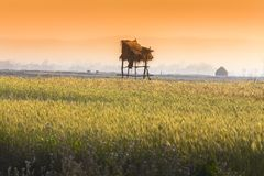 Goldenes Weizen-Feld in der goldenen Stunde lizenzfreie stockfotos