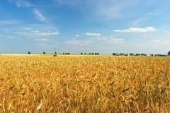 goldenes Weizenfeld Stockfotografie