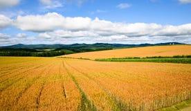 Goldenes Weizenfeld Lizenzfreie Stockfotos