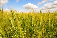 Goldenes Weizenfeld stockfotos