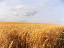 Goldenes Weizenfeld Stockbild