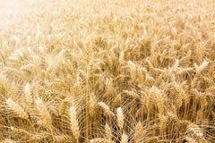 Goldenes Weizenfeld bereit geerntet zu werden Stockbild