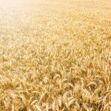 Goldenes Weizenfeld bereit geerntet zu werden Lizenzfreie Stockfotografie
