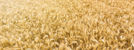 Goldenes Weizenfeld bereit geerntet zu werden Stockfotografie