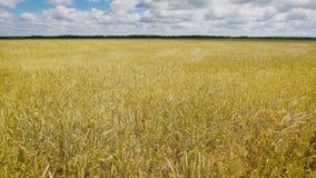 Goldenes Weizenfeld an einem schönen Tag stock footage