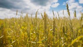 Goldenes Weizenfeld an einem schönen Tag stock video footage