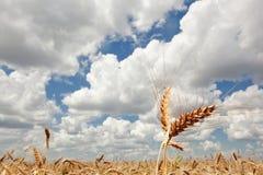 Goldenes Weizenfeld gegen einen blauen Himmel Lizenzfreies Stockbild