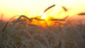 Goldenes Weizenfeld, Landschaft bei Sonnenuntergang Ohren der Weizennahaufnahme Weizenfeld-Hintergrundgesundheit, Sonne, Ernte stock video footage