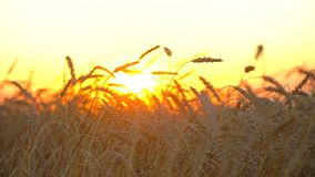Goldenes Weizenfeld, Landschaft bei Sonnenuntergang Ohren der Weizennahaufnahme Weizenfeld-Hintergrundgesundheit, Sonne, Ernte stock video
