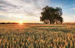 Goldenes Weizenfeld mit Baum bei Sonnenuntergang Lizenzfreies Stockfoto