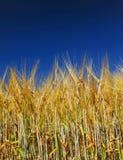 Goldenes Weizenfeld mit blauem Himmel Stockfotografie