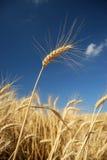 Goldenes Weizenfeld mit blauem Himmel lizenzfreies stockbild