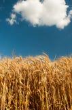 Goldenes Weizenfeld mit blauem Himmel Lizenzfreie Stockfotografie