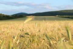 Goldenes Weizenfeld mit blauem Himmel im Hintergrund Lizenzfreies Stockbild