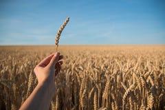 Goldenes Weizenfeld mit blauem Himmel im Hintergrund und in der Hand mit Spica Stockfoto