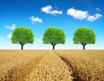 Goldenes Weizenfeld mit Bäumen Stockfoto