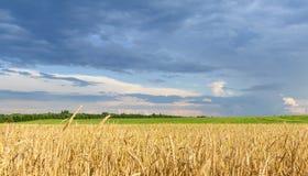 Goldenes Weizenfeld mit dunkelblauem buntem Himmel lizenzfreie stockfotografie