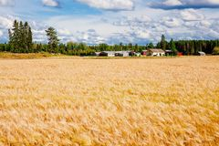 Goldenes Weizenfeld und -bauernhof im ländlichen Land Finnland Lizenzfreies Stockfoto