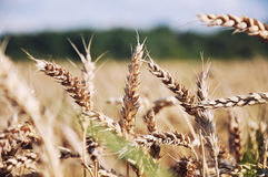 Goldenes Weizenfeld und blauer Himmel stockbild
