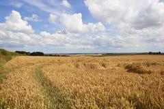 Goldenes Weizenfeld und Landschaft Stockbild