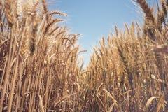 Goldenes Weizenfeld und sonniger Tag Stockfoto